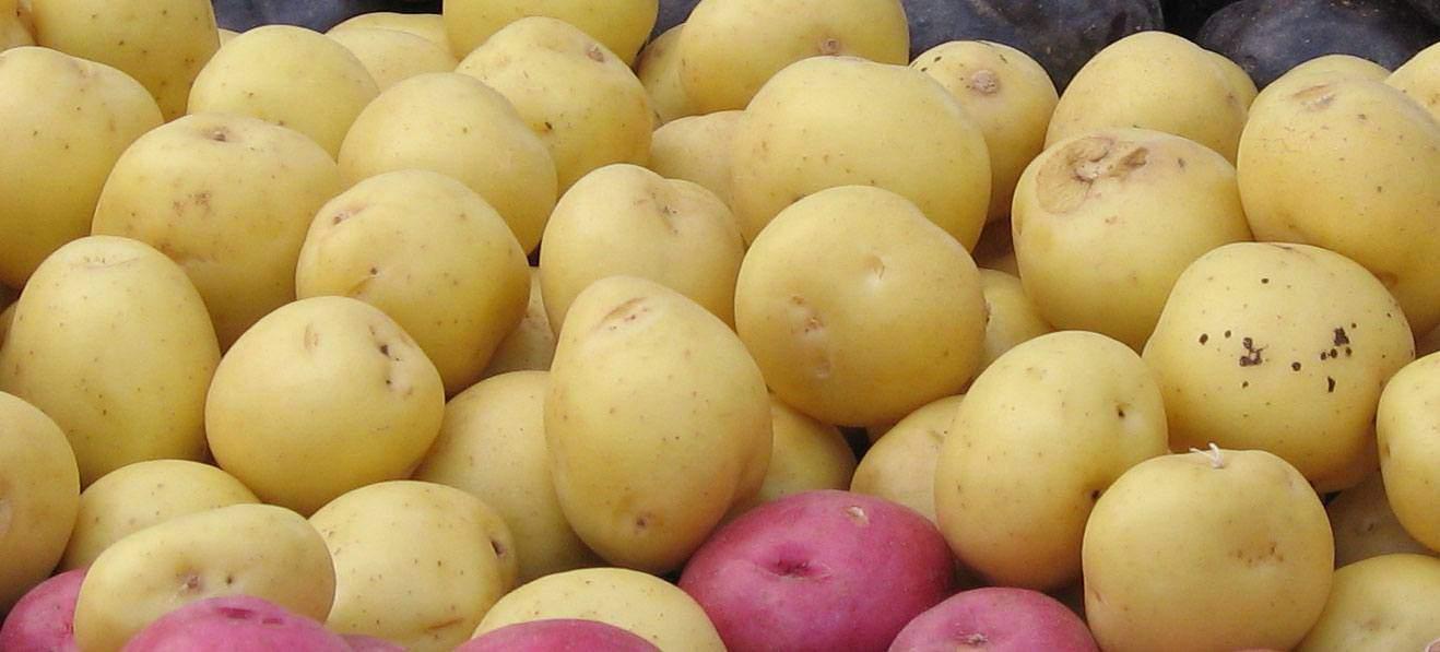 Dyrke kartofler