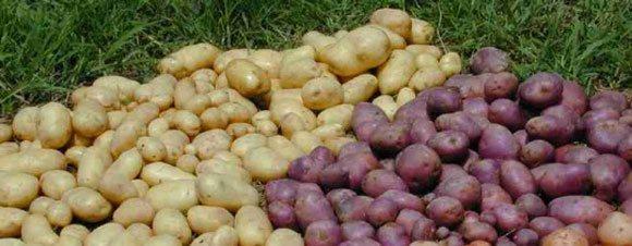 Gode lægge-kartofler