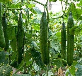 agurkeplante
