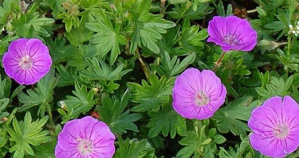 geranium lilla