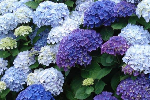 Hortensia Gode Råd Om Indkøb Plantning Og Pleje Af Hortensiabuske