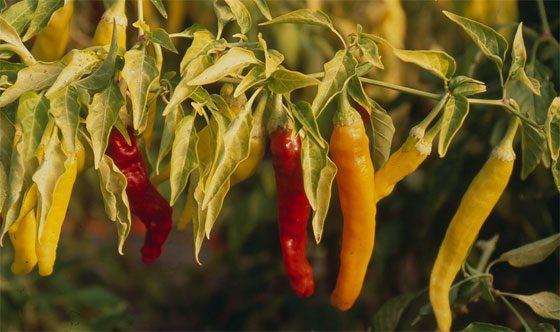 Hungarian Hot Wax chili