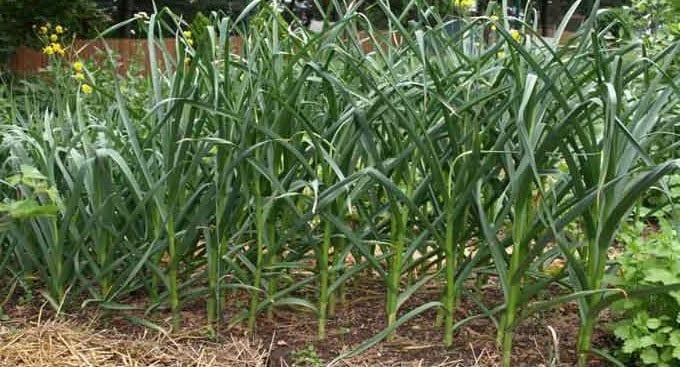 Store grønne hvidløgsplanter