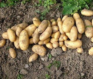 Høst af kartofler