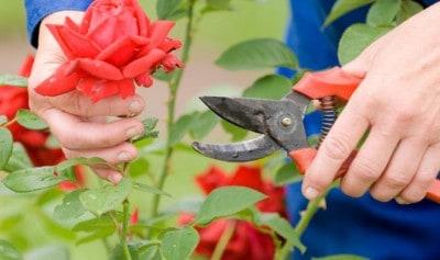 Klippe roser