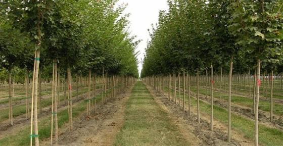Køb træer på planteskoler
