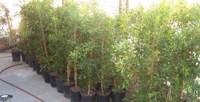 Læhegn planter