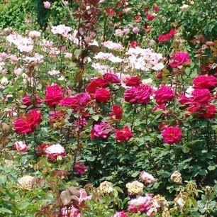 Plante roser