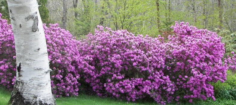 Gøde rhododendron - Sådan får du den rigtige surhedsgrad i dit bed